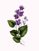 Purple Violets by Elizabeth Beckwith Hazen